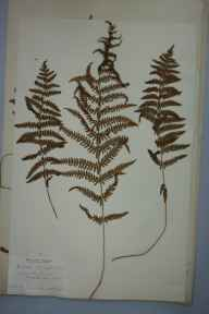 Thelypteris palustris herbarium specimen from Open Pits, Denge Beach, VC15 East Kent in 1905 by Miss Eleonora Armitage.