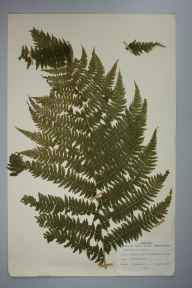 Athyrium filix-femina herbarium specimen from Binicliff Wood, VC3 South Devon in 1978 by M Howells.