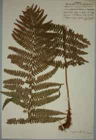Dryopteris affinis herbarium specimen from Chapel Green, VC38 Warwickshire in 1959 by J M Norman.