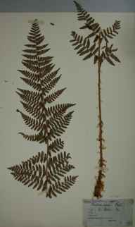 Dryopteris submontana herbarium specimen from Settle, VC64 Mid-west Yorkshire in 1845 by John Tatham.