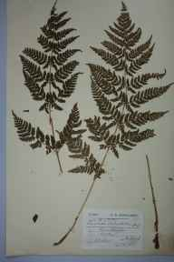 Dryopteris dilatata herbarium specimen from Killin, VC88 Mid Perthshire in 1903 by Leslie Beeching Hall.