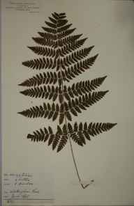 Dryopteris carthusiana herbarium specimen from Whittingham Park, VC21 Middlesex in 1865 by Rev William Hunt Painter.