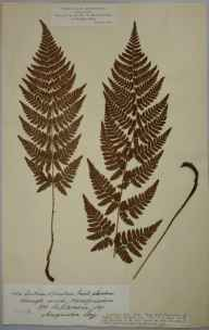 Dryopteris carthusiana herbarium specimen from Haugh Wood, VC36 Herefordshire in 1891 by Rev. Augustin Ley.