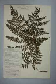 Dryopteris carthusiana herbarium specimen from Pont Esgob, VC36 Herefordshire in 1901 by Rev. Augustin Ley.