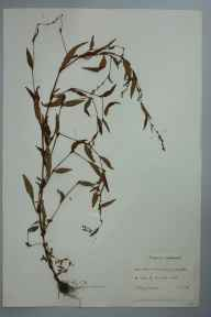 Persicaria hydropiper herbarium specimen from Bomere Pool, VC40 Shropshire in 1959 by I Haig-Brown.