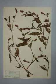 Persicaria maculosa herbarium specimen from Trevaylor, VC1 West Cornwall in 1946 by D A J Little (BSBI).