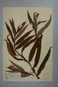 Persicaria amphibia herbarium specimen from Guildford, VC17 Surrey in 1947 by D A J Little (BSBI).