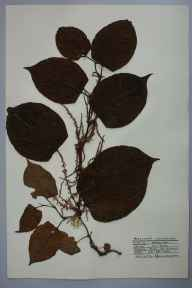 Fallopia japonica herbarium specimen from Burry Port, VC44 Carmarthenshire in 1959 by Barbara A G Williams.