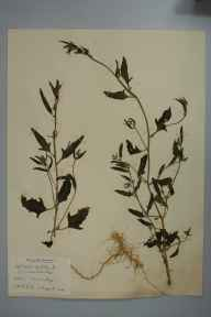 Atriplex patula herbarium specimen from Coton, VC29 Cambridgeshire in 1898 by Prof Richard Henry Yapp.