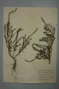 Suaeda maritima herbarium specimen from Jersey marine, VC41 Glamorganshire in 1959 by T R Lovering.