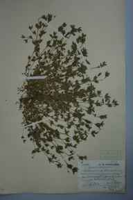 Moehringia trinervia herbarium specimen from Woodhatch, VC18 South Essex in 1908 by Charles Smith Nicholson.
