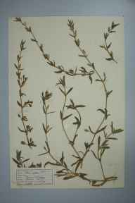 Silene gallica herbarium specimen from Madron, VC1 West Cornwall in 1943 by D A J Little (BSBI).
