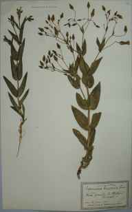 Vaccaria hispanica herbarium specimen from Bristol, Saint Philip's, VC34 West Gloucestershire in 1901 by Mr James Walter White.