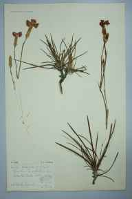 Dianthus caryophyllus herbarium specimen from Rochester Castle, VC15 East Kent in 1905 by J Smith.