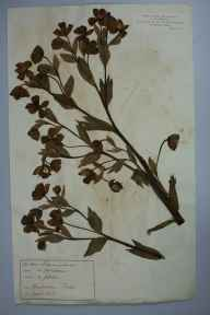 Helleborus foetidus herbarium specimen from Bradenham, VC24 Buckinghamshire in 1865 by Rev William Hunt Painter.