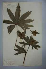 Helleborus viridis herbarium specimen from Tanfield, VC64,VC65 in 1880 by Rev. Henry Horrocks Slater.