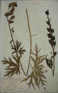 Aconitum napellus herbarium specimen from Caynham Camp, VC40 Shropshire in 1878 by Rev Joseph Hesselgrave Thompson.