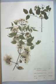Clematis vitalba herbarium specimen from Brading Down, VC10 Isle of Wight in 1961 by A J Cooper.