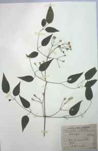 Clematis vitalba herbarium specimen from Great Amwell, VC20 Hertfordshire in 1909 by Rev. Philip Henry Cooke.