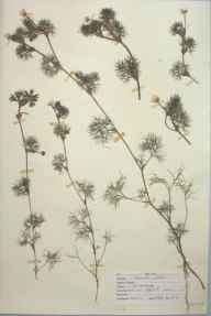 Ranunculus peltatus herbarium specimen from Kegworth, VC55 Leicestershire in 1948 by D A J Little (BSBI).