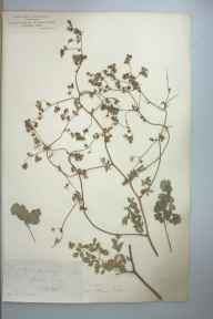 Thalictrum minus subsp. minus herbarium specimen from Cheddar, VC6 North Somerset in 1885.