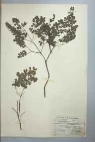 Thalictrum minus subsp. minus herbarium specimen from Cheddar, VC6 North Somerset in 1915 by Charles Smith Nicholson.
