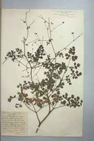 Thalictrum minus subsp. majus herbarium specimen collected by Nicholas Edward Brown.