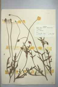 Papaver dubium herbarium specimen from Tresco, VC1 West Cornwall in 1963 by D A J Little (BSBI).