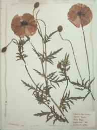 Papaver rhoeas herbarium specimen from Southover in 1887.