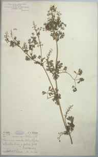 Fumaria occidentalis herbarium specimen from Newquay, VC1 West Cornwall in 1904 by Mr Spencer Henry Bickham.
