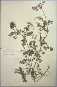 Fumaria occidentalis herbarium specimen from Newquay, VC1 West Cornwall in 1904 by Dr Chambre Corker Vigurs.