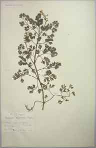 Fumaria occidentalis herbarium specimen from Porth, VC1 West Cornwall in 1904 by Dr Chambre Corker Vigurs.