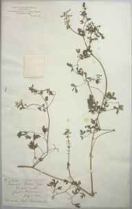 Fumaria purpurea herbarium specimen from Great Malvern, VC37 Worcestershire in 1881 by Mr Frederick Townsend.