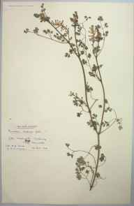 Fumaria bastardii herbarium specimen from Gwennap, VC1 West Cornwall in 1905 by Dr Chambre Corker Vigurs.