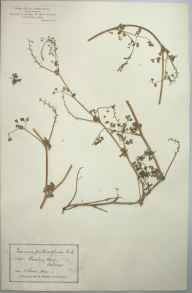 Fumaria muralis subsp. boraei herbarium specimen from Jersey, Bouley Bay, VC113 Channel Islands in 1894 by Mr James Walter White.