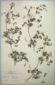 Fumaria muralis subsp. boraei herbarium specimen from St Newlyn East, VC1 West Cornwall in 1905 by Dr Chambre Corker Vigurs.