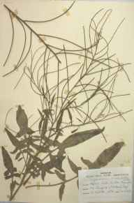 Sisymbrium orientale herbarium specimen from Sutton Bonington, VC56 Nottinghamshire in 1948 by D A J Little (BSBI).