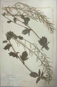 Barbarea vulgaris herbarium specimen from Newquay, VC1 West Cornwall in 1901 by Dr Chambre Corker Vigurs.