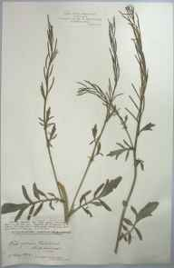 Barbarea intermedia herbarium specimen from Portishead, VC6 North Somerset in 1904 by Mr James Walter White.