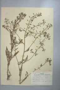 Nasturtium palustris herbarium specimen from Kegworth, VC55 Leicestershire in 1948 by D A J Little (BSBI).