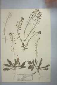 Capsella bursa-pastoris herbarium specimen from Madron, VC1 West Cornwall in 1943 by D A J Little (BSBI).