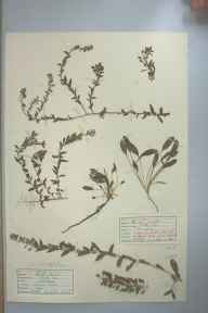 Lepidium heterophyllum herbarium specimen from Marazion Marsh, VC1 West Cornwall in 1946 by D A J Little (BSBI).