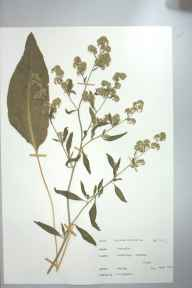 Lepidium latifolium herbarium specimen from Woodbridge, VC25 East Suffolk in 1971 by Miss M Hildred Bigwood.