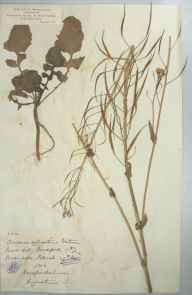Brassica rapa subsp. campestris herbarium specimen from Sellack, VC36 Herefordshire in 1886 by Rev. Augustin Ley.