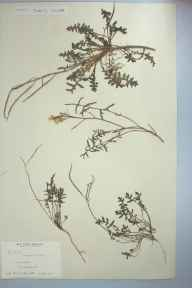 Coincya monensis herbarium specimen from Seascale, VC70 Cumberland in 1905 by Sophia Armitt.
