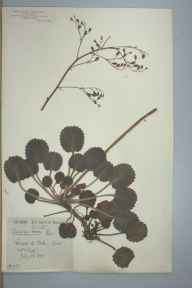 Saxifraga hirsuta herbarium specimen from Chapel-le-Dale, VC64 Mid-west Yorkshire in 1890 by Rachel Ford Thompson.