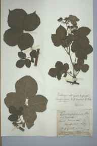 Rubus conjungens herbarium specimen from Saint Weonards, VC36 Herefordshire in 1884 by Rev. Augustin Ley.
