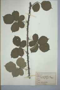Rubus conjungens herbarium specimen collected by Mr James Walter White.
