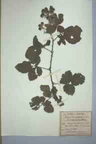 Rubus conjungens herbarium specimen from Banwell, VC6 North Somerset in 1889 by Mr James Walter White.