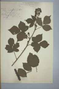 Rubus latifolius herbarium specimen from Llangefni, VC52 Anglesey in 1895 by Mr John Edwards Griffith.